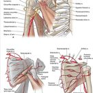 A. Branches of the subclavian and axillary arteries. B. Posterior view of the shoulder arteries. C.