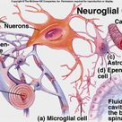 Graphic of the Body's Glial Cells