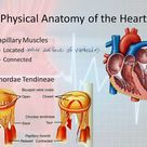 Basic Electrophysiology, part 1 - Mechanical Anatomy of the Heart, part 1