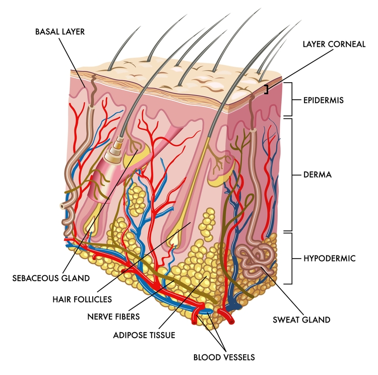 Skin is composed of several layers of tissue.