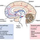Cross section through the brain showing the dopamine and serotonin pathways affection mood