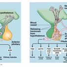 Hormones Secreted by the Pituitary Glands