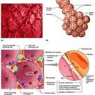The respiratory membrane consists of a single layer of squamous epithelium, type-I cells, surrounded
