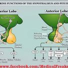 Pituitary Gland functions