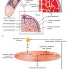 Erection is a neurovascular event. The vasodilation allows blood to flow into the cavernous spaces