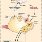 effects of FSH/LH in ovulation