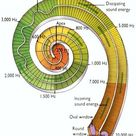 Frequency distribution along the length of the cochlea for both the incoming and outgoing waves.
