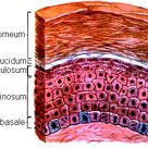 layers of the epidermis | Stratum Layers of the Skin remember that the innermost layer called stratu