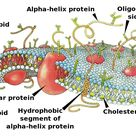 The lipid bilayer (or phospholipid bilayer) is a thin polar membrane made of two layers of lipid mol