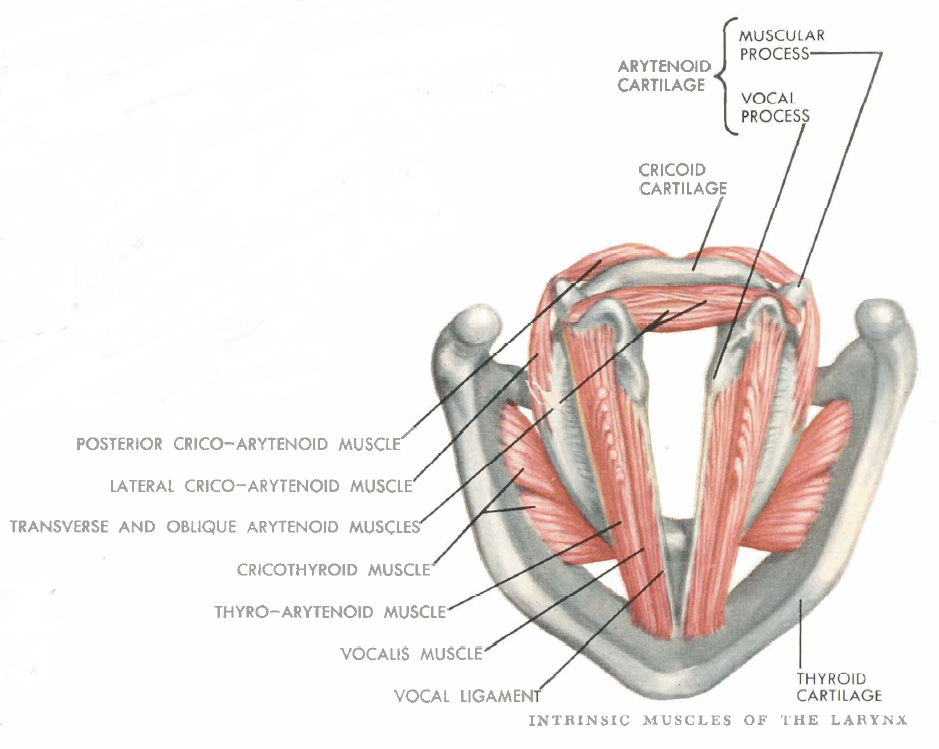 posterior cricoarytenoid muscles | Name 5 intrinsic muscles of larynx