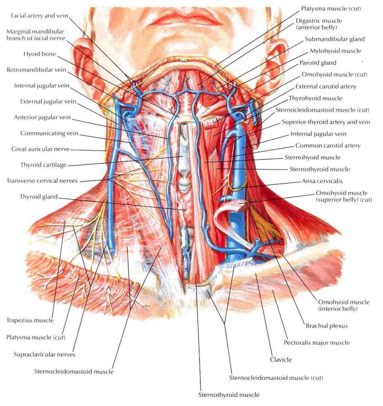 Human Throat Anatomy Muscles Of The Anterior Neck Lymph Node At The Throat Of Human Human