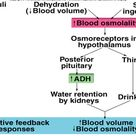 Regulation of Blood Pressure by ADH (Vasopressin)
