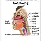 detailed phases of swallowing!