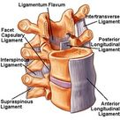 Primary spinal ligaments